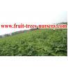 China Árvores de fruto: Figo wholesale