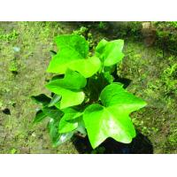 GMP Factory Supply High Quality ivy leaf extract Ivy extract with 1%-10% Hederagenin