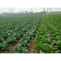 China No Fleck Chinese Round Cabbage / No Pesticide Common Cabbage Small Size wholesale