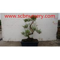 Buy cheap Bonsai    Serissa from wholesalers
