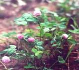 China Red Clover P . E . wholesale