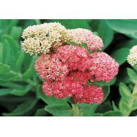Salidroside CAS No.10338-51-9 1-98% Natural Rhodiola Rosea Extract for sale