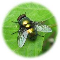Fipronil 95%TC/brazil/Off-white powder /Kill fly/insecticide