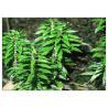 China 99% Huperzia Serrata Plant Extract Powder Whole Herb For Alzheimer Disease wholesale