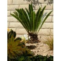 China Cycas revoluta (indoor container ornamental plant) wholesale