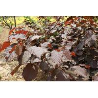 Buy cheap Cercis canadensis 'Forest Pansy' from wholesalers