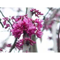 China Cercis canadensis 'Forest Pansy' wholesale