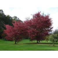 Buy cheap Quercus rubra L from wholesalers