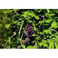 Buy cheap Akebia quinata (Thunb.) Decne. from wholesalers