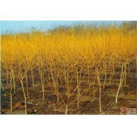 Buy cheap Sophora japonica 'Golden Stem' from wholesalers