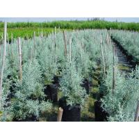 Buy cheap Cupressus glabra'Blue Ice' from wholesalers