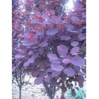 Buy cheap Cotinus coggygria Royal purple from wholesalers