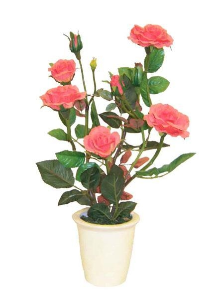 Potted roses plants images