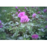 China Red clover wholesale