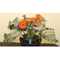China AFE research aims to protect gerbera from powdery mildew wholesale
