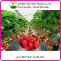 China High Yield Large Sweet White Red Black Creamy Strawberry Seeds For Field Cultivation wholesale