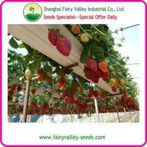 Quality Bonsai Strawberry Seeds For Landscape for sale