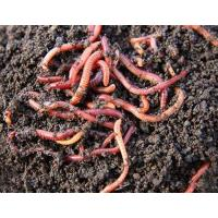 China Alabama Jumpers ( Approx. 1000 worms ) wholesale