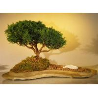 Buy cheap Shimpaku Juniper Bonsai TreePlanted on a Rock Slab(juniperus chinensis) from wholesalers