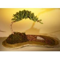 Buy cheap Juniper Bonsai TreePlanted on a Rock Slab(juniper procumbens