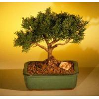 Buy cheap FREE SHIPPING ON THIS TREEShimpaku Bonsai Tree Bonsai Tree - Large(shimpaku itoigawa) from wholesalers