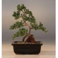 Buy cheap Juniper