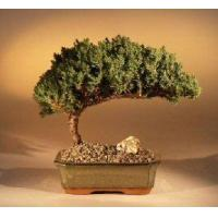 Buy cheap Juniper Bonsai Tree - Medium(Juniper Procumbens