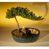 Buy cheap Juniper Bonsai Tree/Water Bonsai Pot - Medium(juniper procumbens