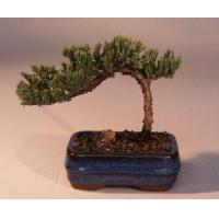 Buy cheap Juniper Bonsai Tree-Small(Juniper Procumbens