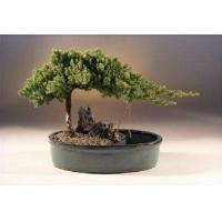 Buy cheap Juniper in a Water Bonsai Pot - Large(juniper procumbens