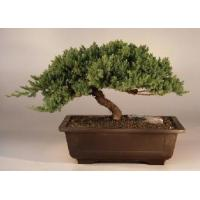 Buy cheap Juniper Windswept - Extra Large(juniper procumbens 'nana') from wholesalers