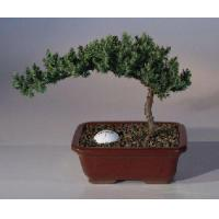 Buy cheap Juniper with Fairway Golf Ball(Juniper Procumbens