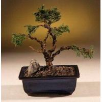 Buy cheap Shimpaku Juniper Bonsai Tree - Trained(juniper chinensis) from wholesalers