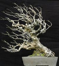 Quality Bonsai Tree Repotting for sale