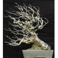 China Bonsai Tree Repotting wholesale