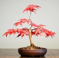 China Bonsai Tree Fertilizing wholesale