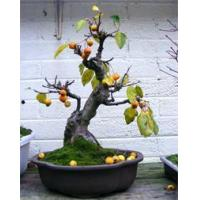 China Bonsai Repotting Mistakes wholesale