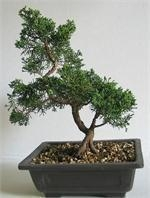 Quality BONSAI TREES for sale
