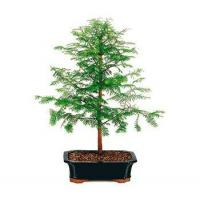 Buy cheap DAWN REDWOOD BONSAI TREE - LARGE from wholesalers