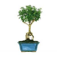 Buy cheap SNOW ROSE BONSAI TREE from wholesalers