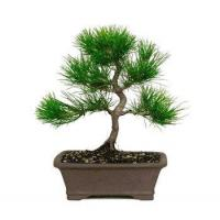 Buy cheap JAPANESE BLACK PINE BONSAI TREE from wholesalers