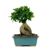 Buy cheap GENSING GRAFTED FICUS BONSAI TREE - LARGE from wholesalers