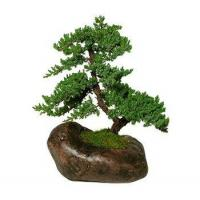 China GREEN MOUND JUNIPER IN ROCK CONTAINER wholesale