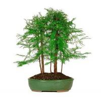 China DAWN REDWOOD GROVE wholesale