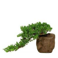 China GREEN MOUND JUNIPER-ROCK CONTAINER wholesale