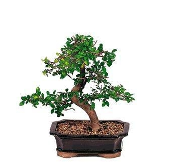 Quality CHINESE ELM BONSAI TREE for sale