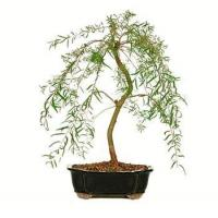 China JAPANESE WEEPING WILLOW BONSAI TREE wholesale