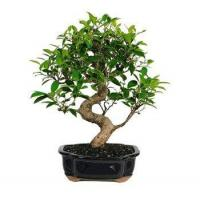 Buy cheap GOLDEN GATE FICUS - LARGE from wholesalers