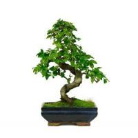 Buy cheap CHINESE LIGUSTRUM BONSAI TREE from wholesalers