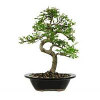 Buy cheap CHINESE ELM BONSAI TREE - LARGE from wholesalers